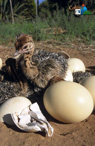 Animaux autruches emeux - Bebe autruche ...