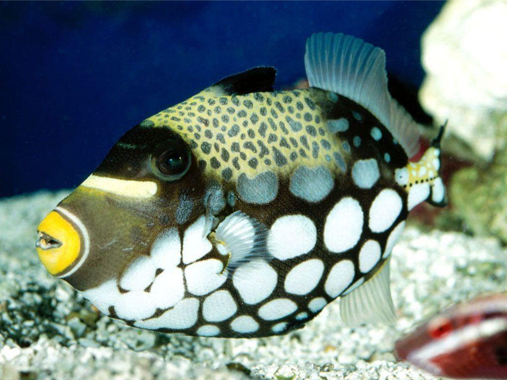 Animaux poissons tropicaux page 4 for Poisson tropicaux aquarium