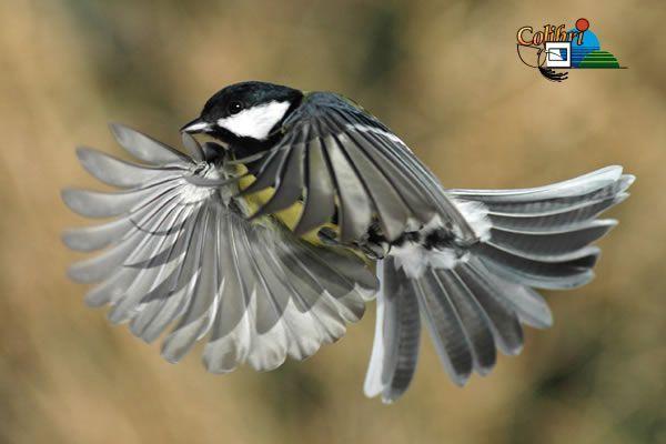 Belles images de mésanges oiseaux
