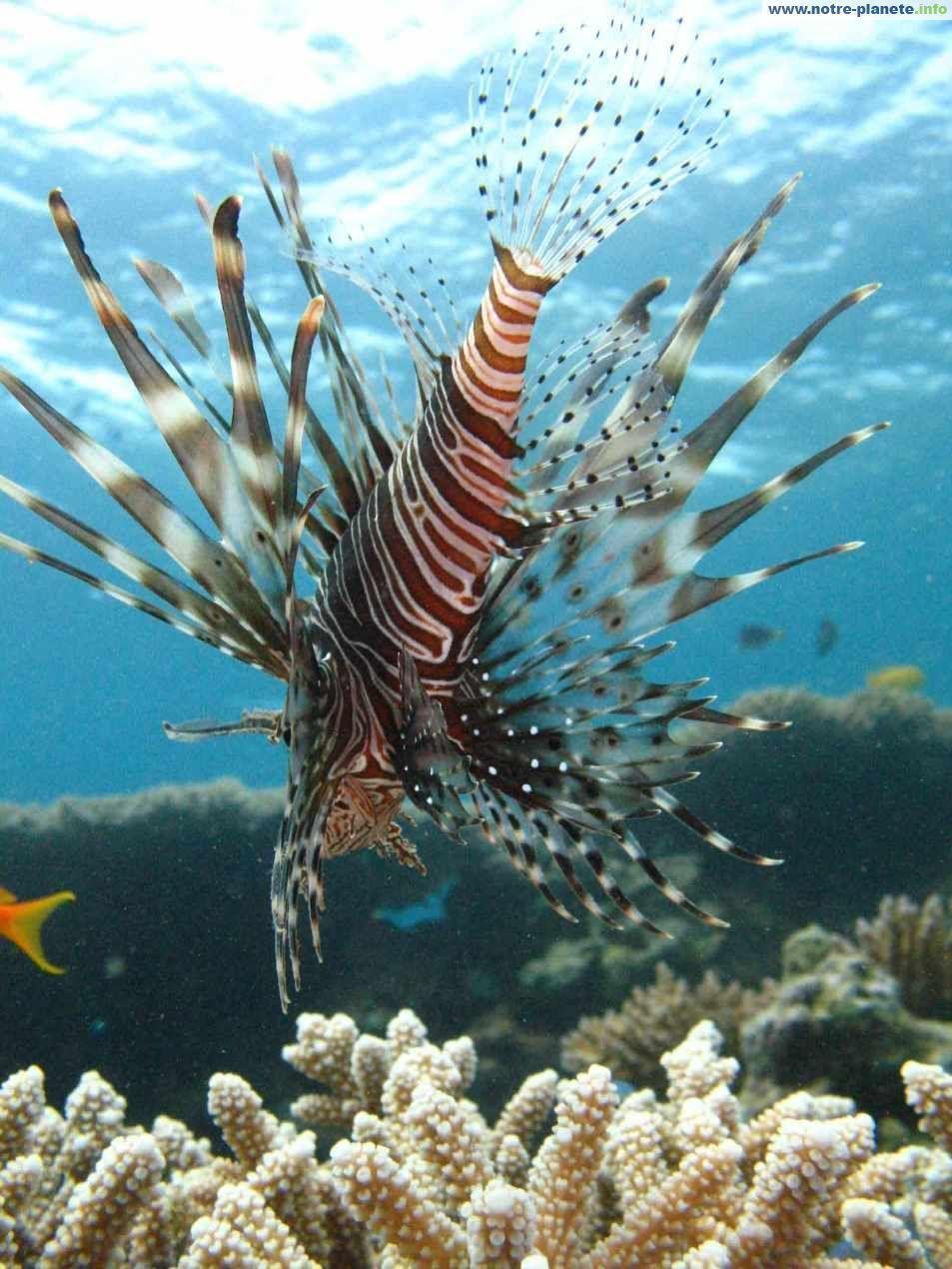 Animaux poissons tropicaux page 5 for Poisson tropicaux