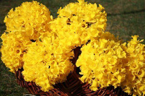 Belles images de JONQUILLES (fleurs)