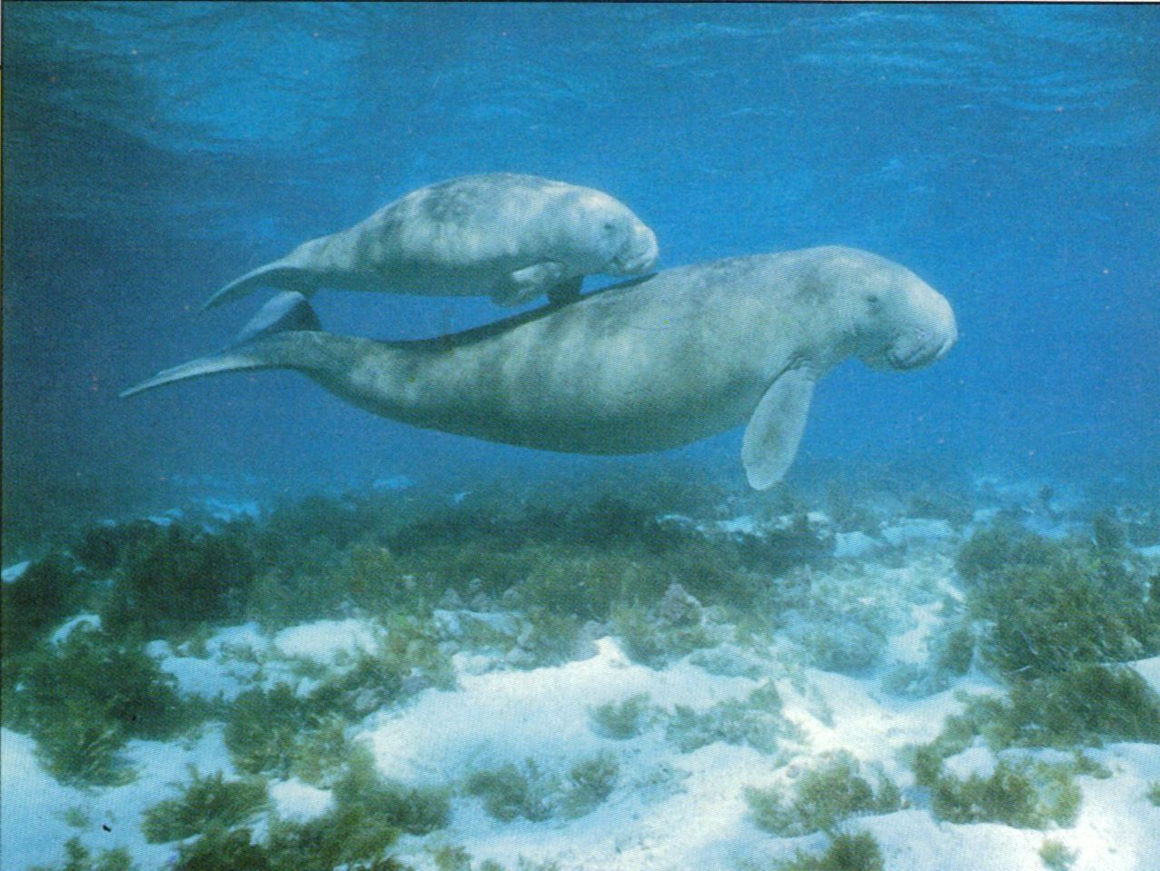 Top Animaux dugongs animaux marins QU72