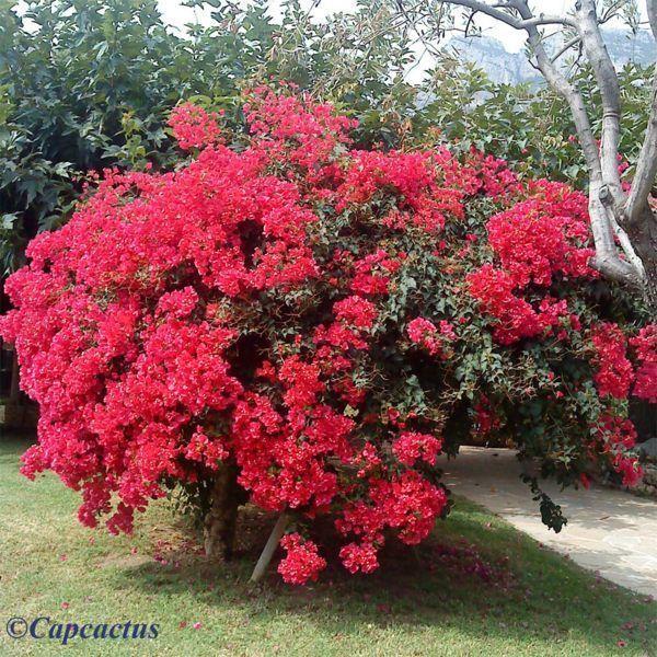 Arbustes fleuris bougainvilliers page 2 - Les plus beaux arbustes persistants ...