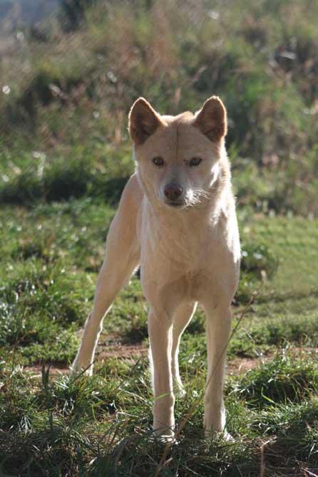 Belles images de dingos (chiens d'Australie)