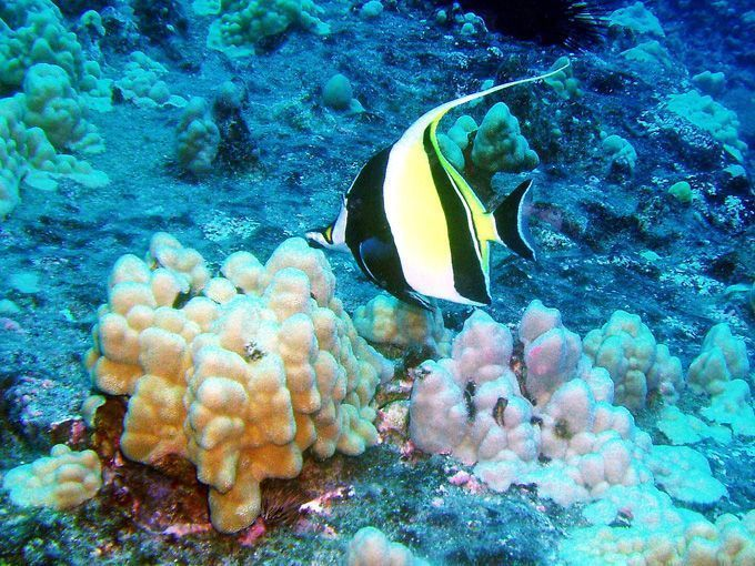 Animaux poissons tropicaux for Poisson tropicaux