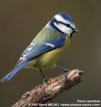 Animaux oiseaux mesanges for Les petits oiseaux