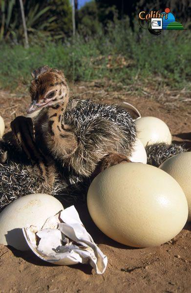 Animaux autruches emeux - Autruche bebe ...