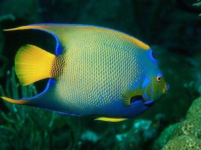 Animaux poissons tropicaux page 7 for Poisson tropicaux