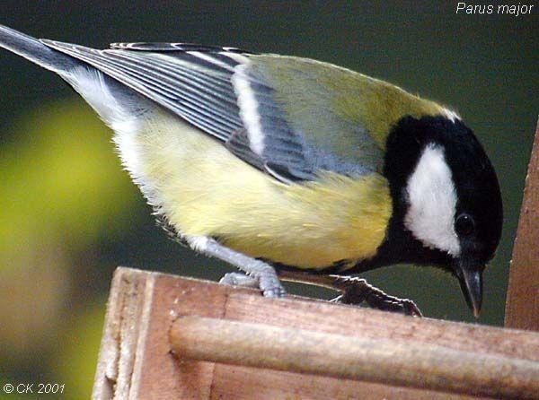 Animaux oiseaux mesanges for Oiseau tete noire et blanche