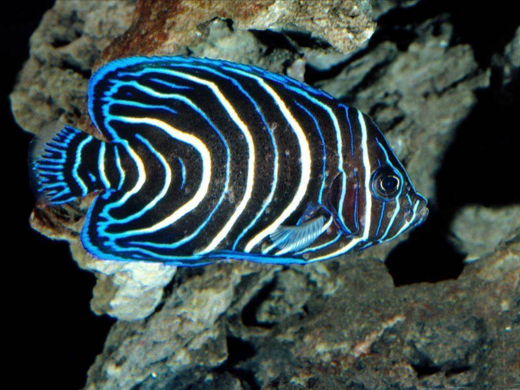 Animaux poissons tropicaux page 4 for Poisson tropicaux
