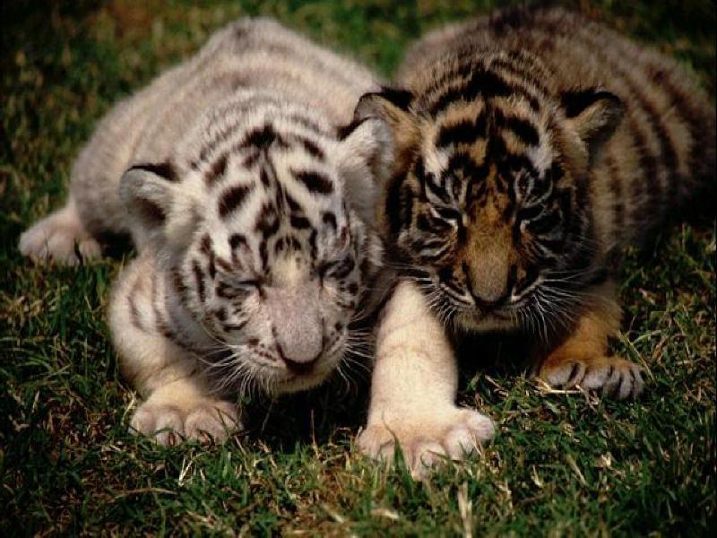 Animaux felins tigres - Bebe tigre mignon ...