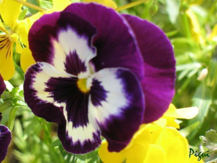 Bien-aimé Fleurs PENSEES IO65